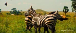 zebras in the open field