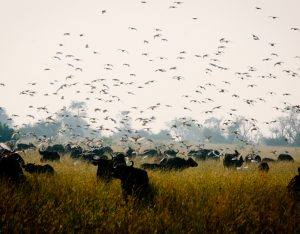 birds and bulls in the open field