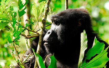 Experience Life With Intelligent Gorillas