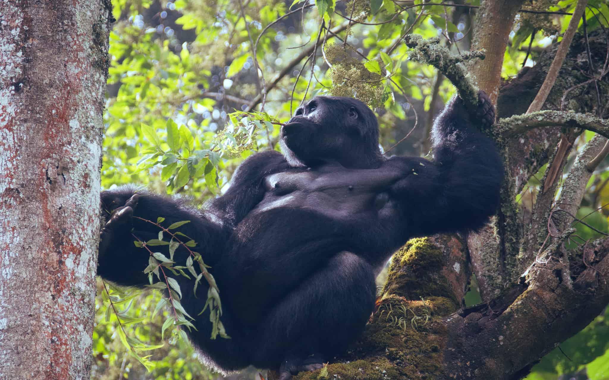 Grand Gorilla Tour - Day 2