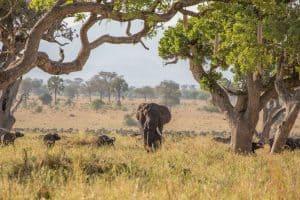 elephant in the field beside a tree