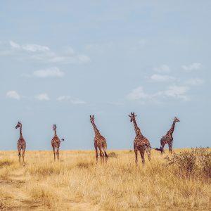 giraffes in an open field