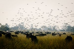birds and bulls in an open field
