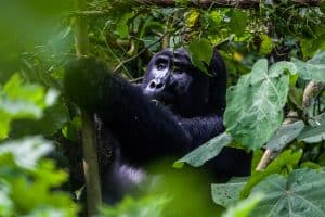chimpanzee hanging out in the forest
