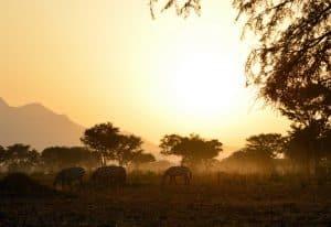 zebras eating grass in the open field