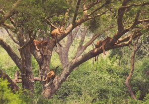 big cats in trees in the forest