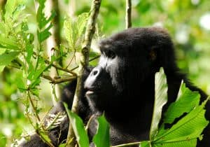 chimpanzee in the trees