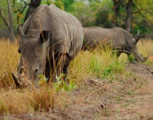 rhinos eating grass in field