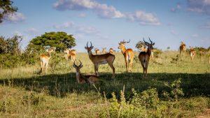 Bushman Safaris' Uganda Deluxe Safari — The Ultimate Adventure
