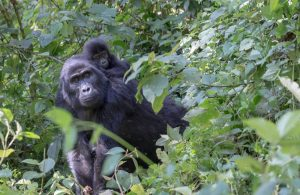 5 Facts to Know About Gorilla Trekking in Uganda