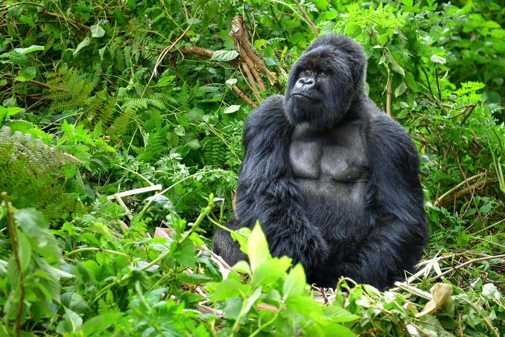 Your Ticket to the Empire of Apes in Uganda