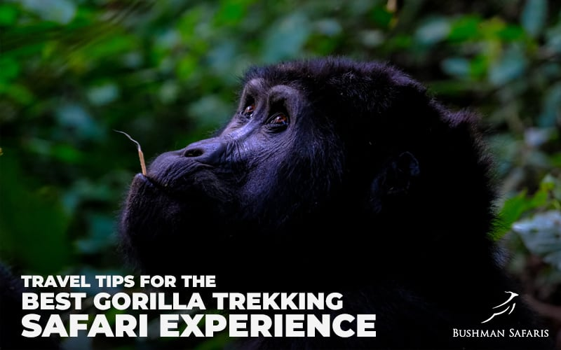 Travel Tips For The Best Gorilla Trekking Safari Experience