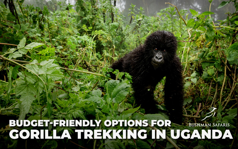 Budget Friendly Options For Gorilla Trekking In Uganda