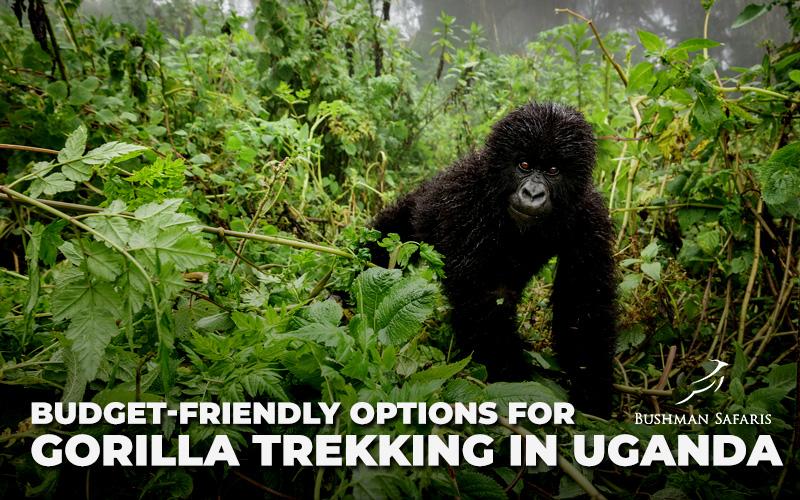 Budget Friendly Options For Gorilla Trekking In Uganda