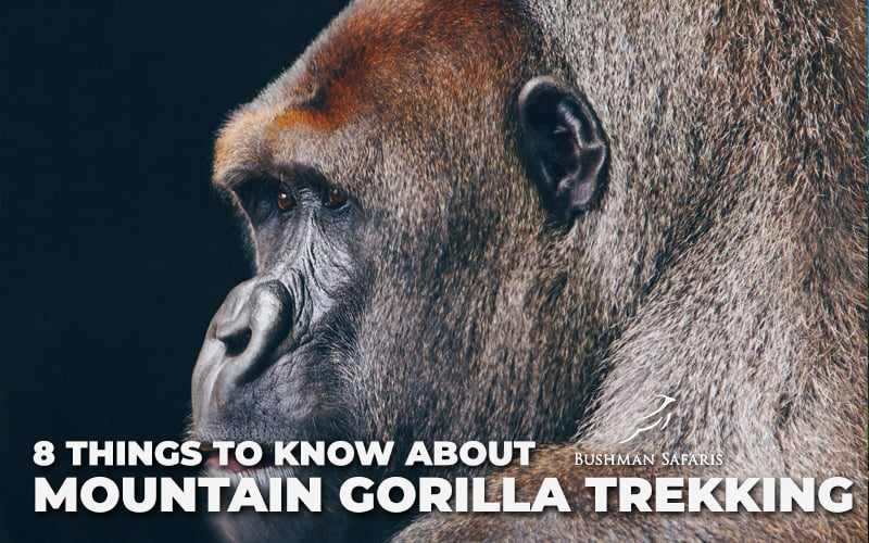 8 Things To Know About Mountain Gorilla Trekking