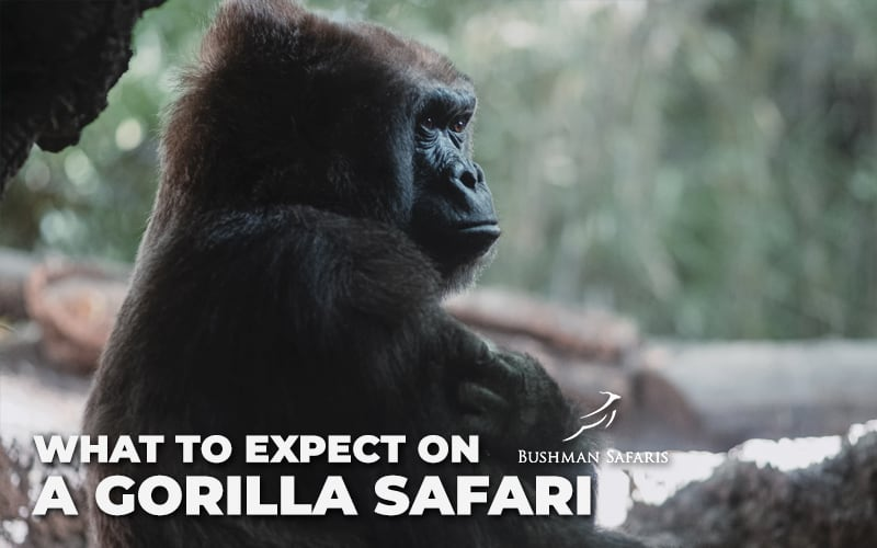 What To Expect On A Gorilla Safari