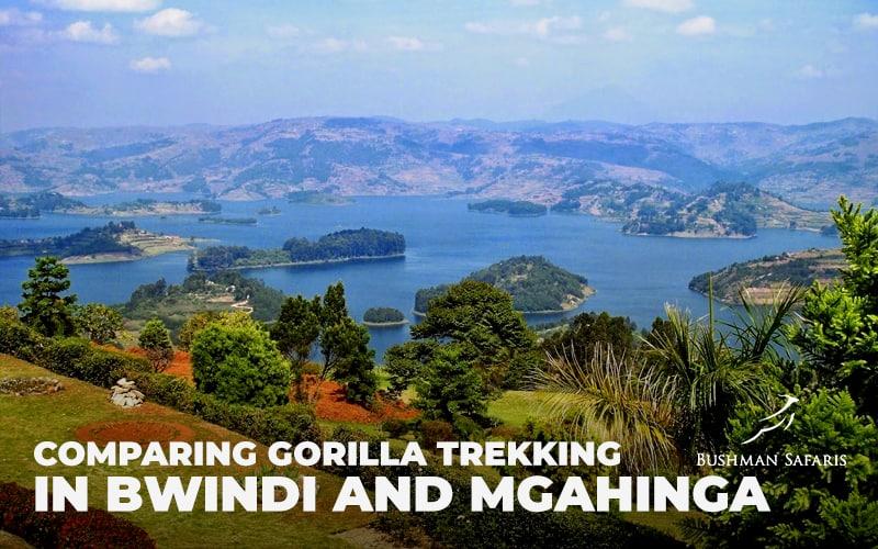 Comparing Gorilla Trekking In Bwindi And Mgahinga