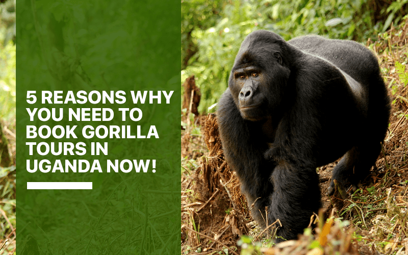 5 Reasons Why You Need to Book Gorilla Tours in Uganda Now!