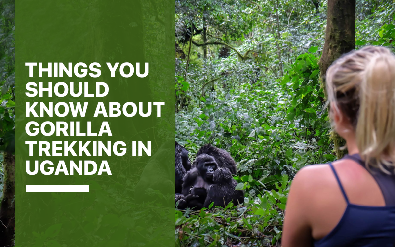 Things You Should Know About Gorilla Trekking in Uganda