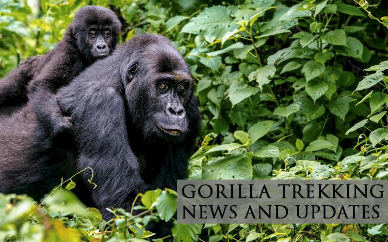 GORILLA TREKKING NEWS AND UPDATES