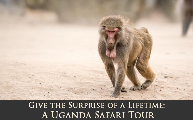 Give the Surprise of a Lifetime: A Uganda Safari Tour