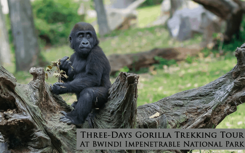 Three-Days Gorilla Trekking Tour At Bwindi Impenetrable National Park