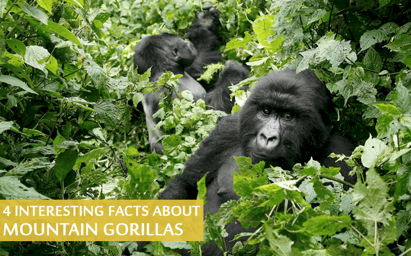 Facts about Mountain Gorillas