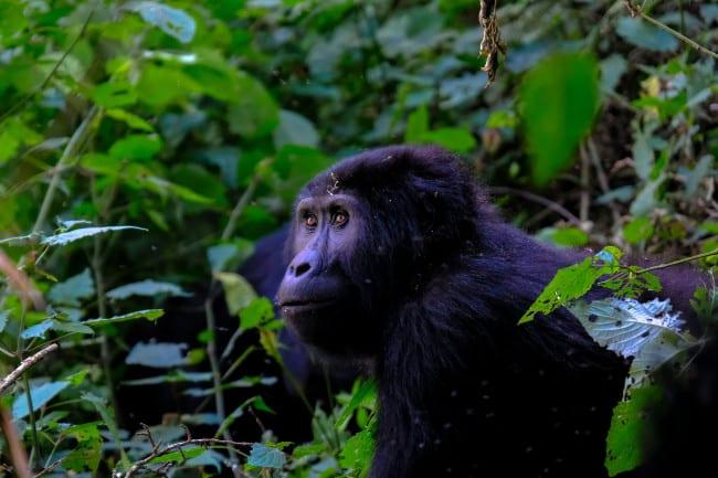 Explore Some of Bushman's Gorilla Tour Options