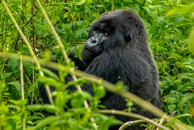 4 Facts You Didn't Know About Mighty Gorillas