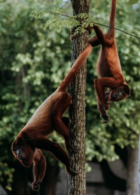 Red Colobus Monkeys