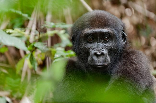 Gorilla Safari in Africa