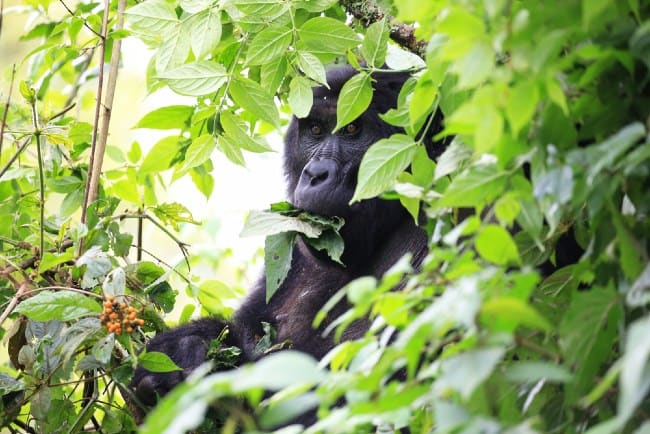 What to Know About the Mountain Gorilla's Special Diet