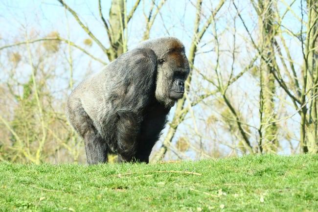 Gorillas-in-Uganda