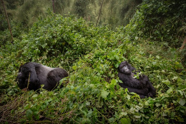 Top 3 Reasons to Go Trekking with Mountain Gorillas in Uganda