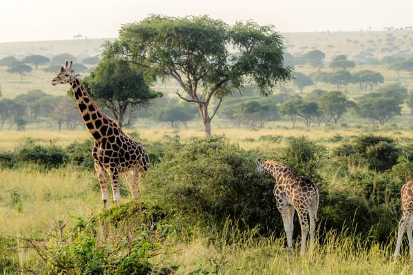 Reasons to Convince You to Join a Uganda Safari Tour One Day